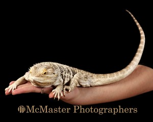 #yegphotography #yeg #edmontonphotography #edmonton #photograph #beardeddragon #dragon #bearded #animal #animalphotography #photographer